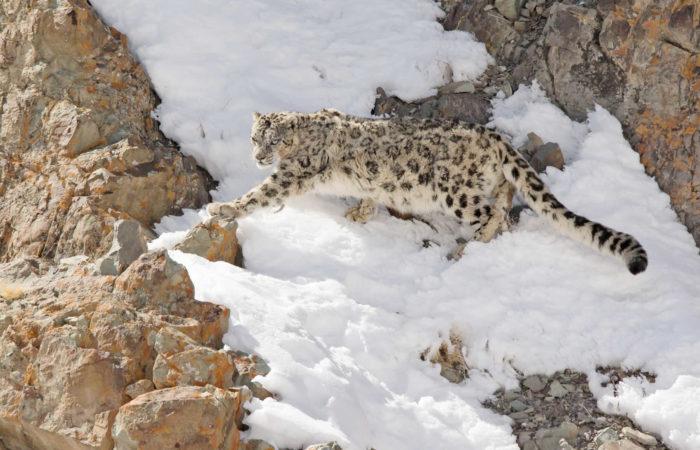 rumbak snow leopard