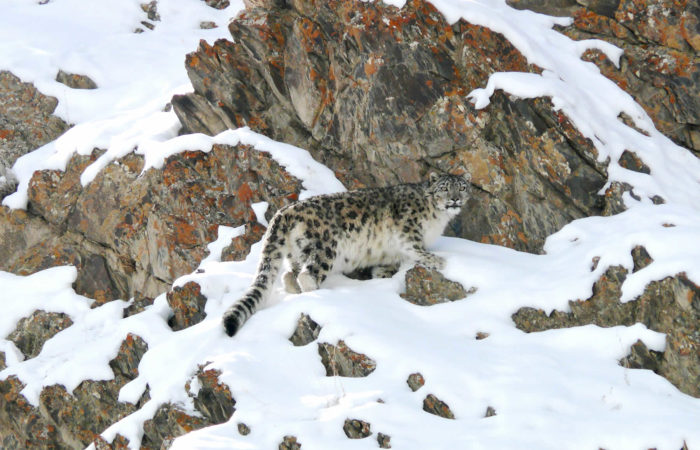 ulle snow leopard